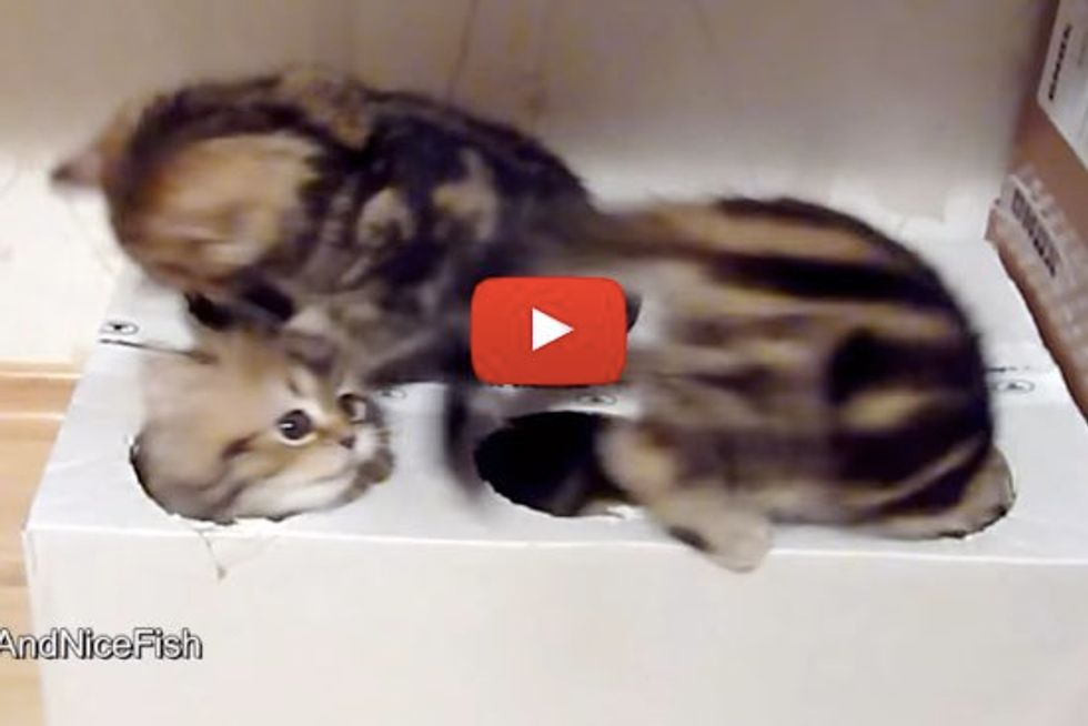 Kittens Can't Get Enough of Homemade Box Toy