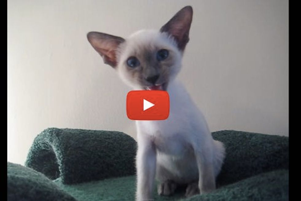Chatty Siamese Kitty Having a Conversation with Mom