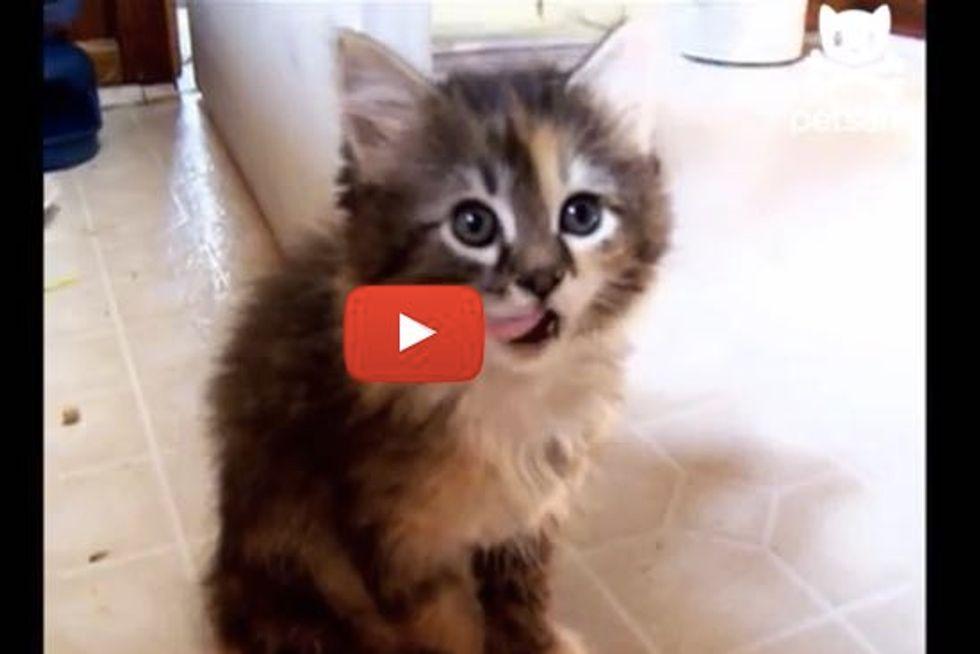 Kitten Falls Asleep from Food Coma