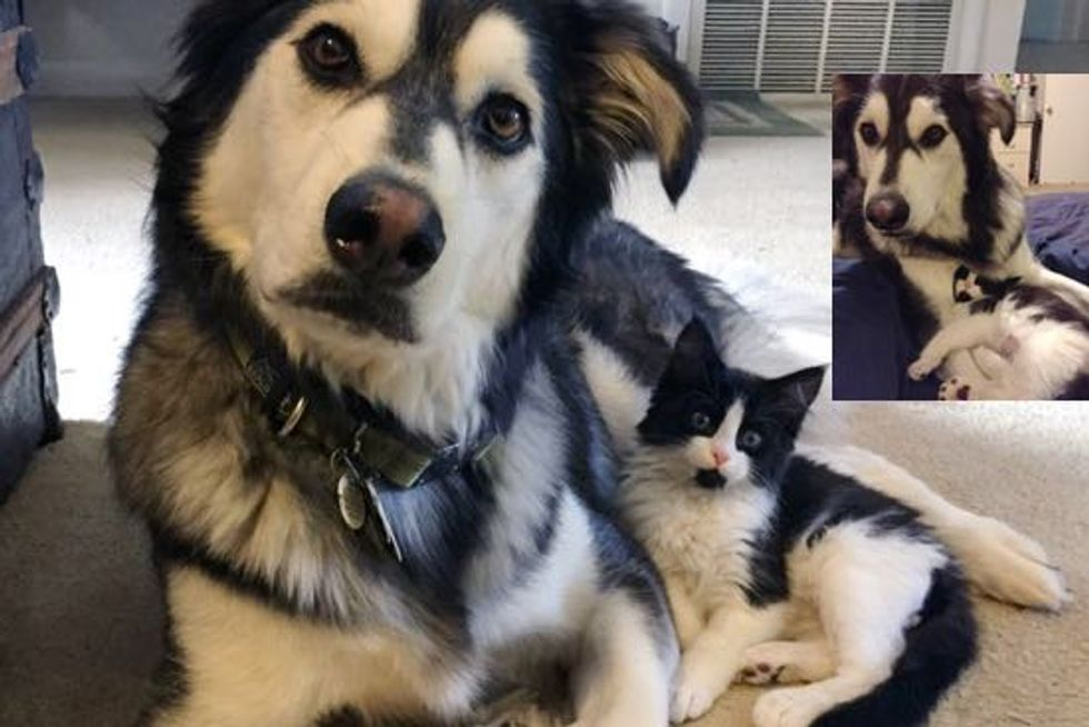 Louie the Tuxedo Cat and His Twin Milan the Husky