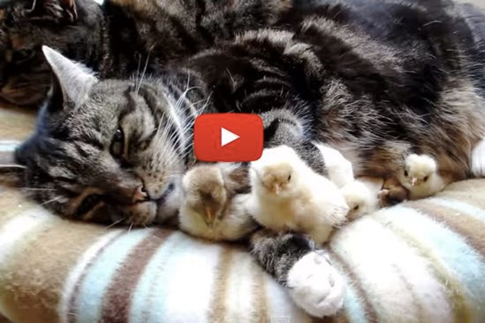 Cats Snuggling and Babysitting Little Chicks