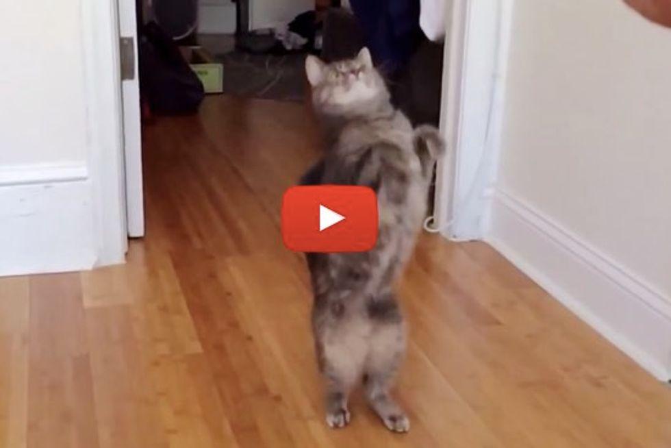 Luna the Very Hyper Cat Climbs Like a Monkey, Walks on Her Two Feet and Parkours Like a Ninja
