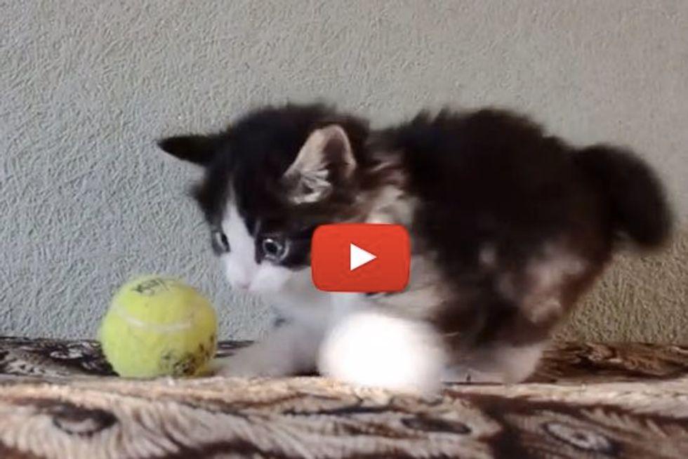 Fuzzy Kitten Has Tennis Ball Under His Paws