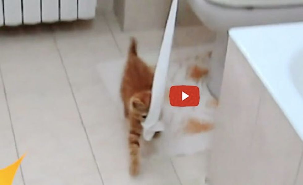 Kitty Taking Toilet Paper on a Trip Out of the Bathroom