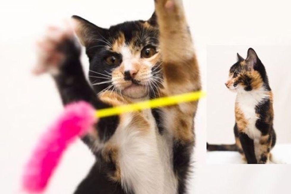 Meet Sherman, a Very Rare Male Calico Kitten