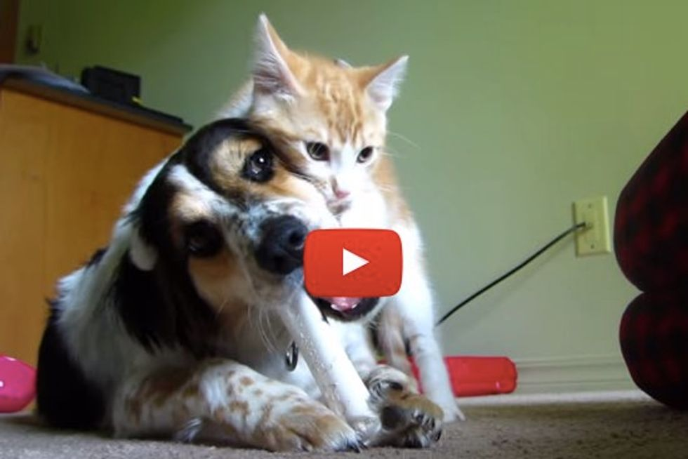 Kitten Demands to Play While Dog Tries to Enjoy Her Bone