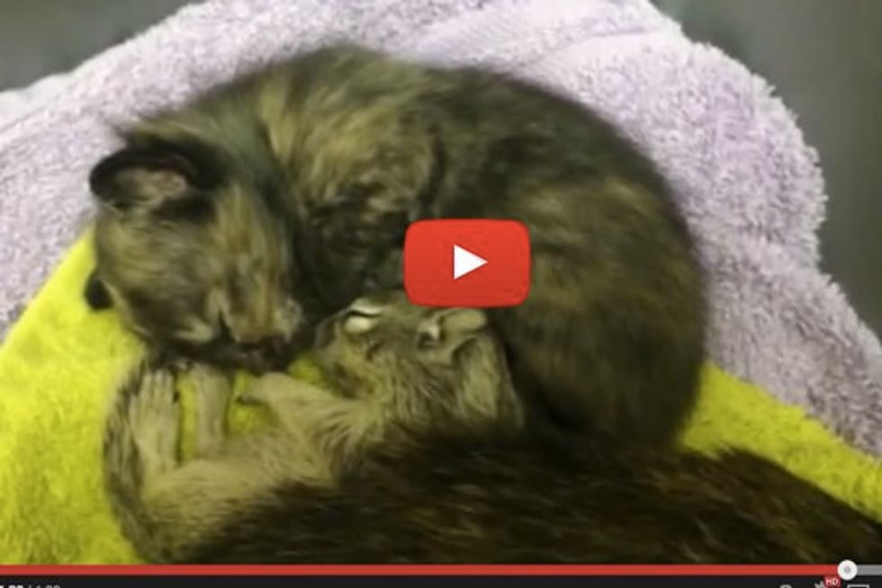 Cat Mama Adopted Orphaned Baby Squirrel, Nursing It Like Her Own