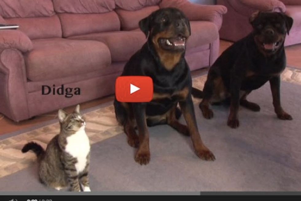 This Cat Can Do Tricks Better Than the Dogs