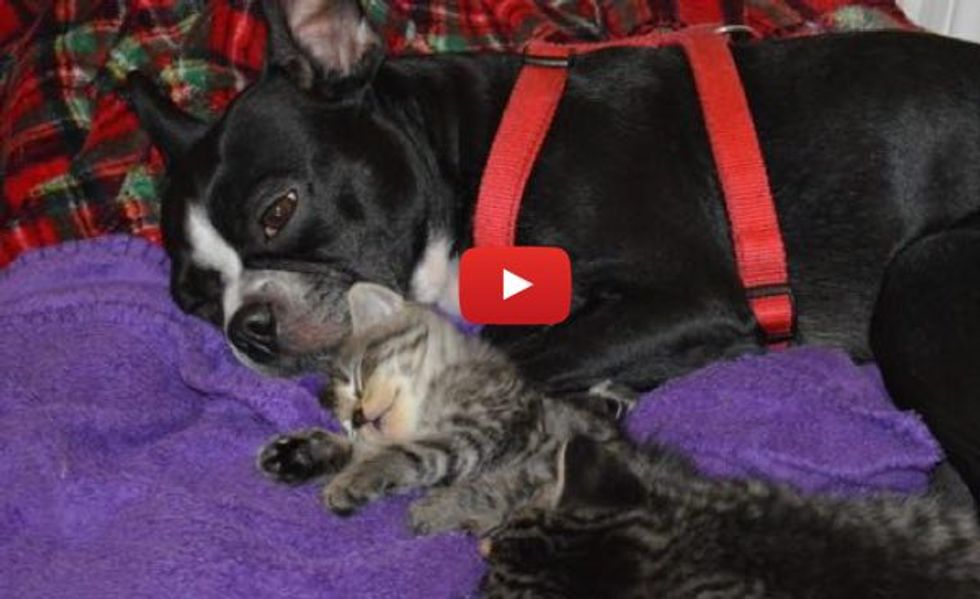 Orphan Kittens Nursing on Dog who Starts Producing Milk for the Babies, Warms Our Hearts!