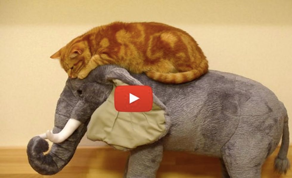 Cat Loves Riding on an Elephant