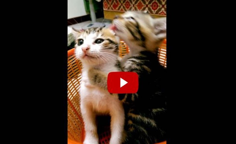 This Kitty Gets Really Serious About Giving A Bath. Watch!