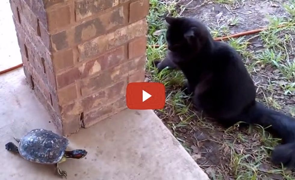 Cat and Turtle Playing Tag