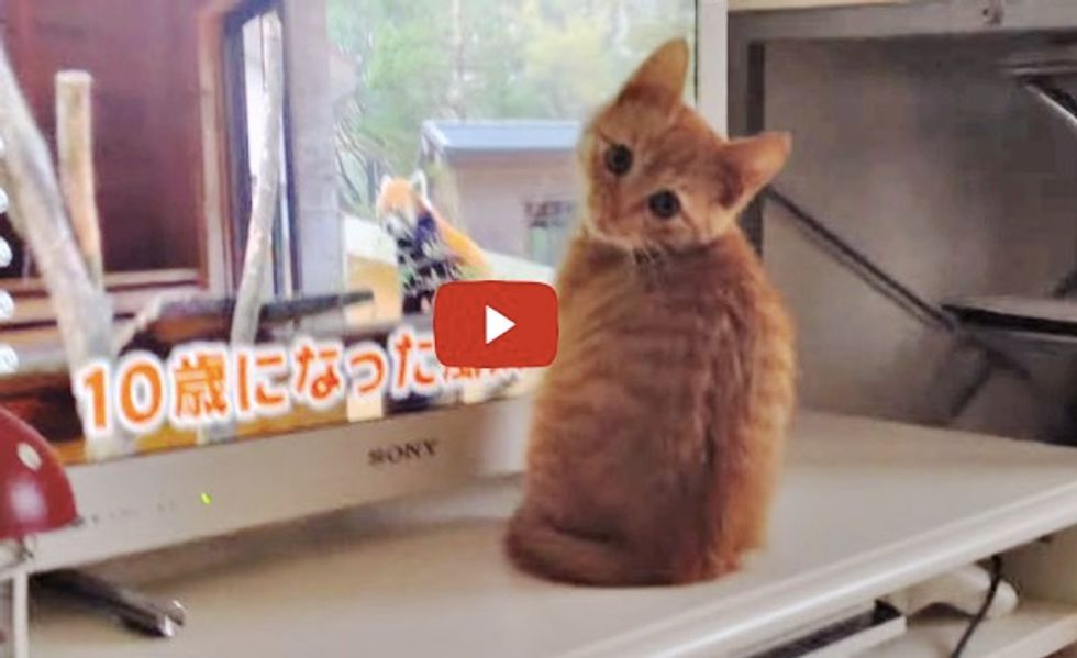 This Kitty Sees Red Pandas Getting Treats on TV, He Demands His Share Too!