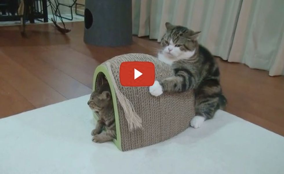 Maru Holds Scratching Board, Not Letting Go