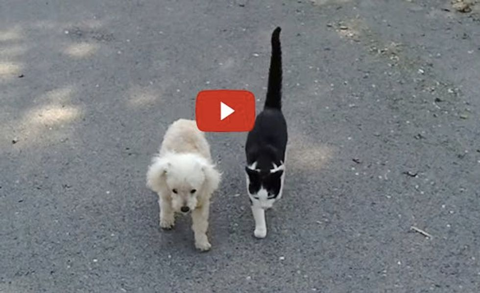 Cat Helps Blind Dog Home After a Walk