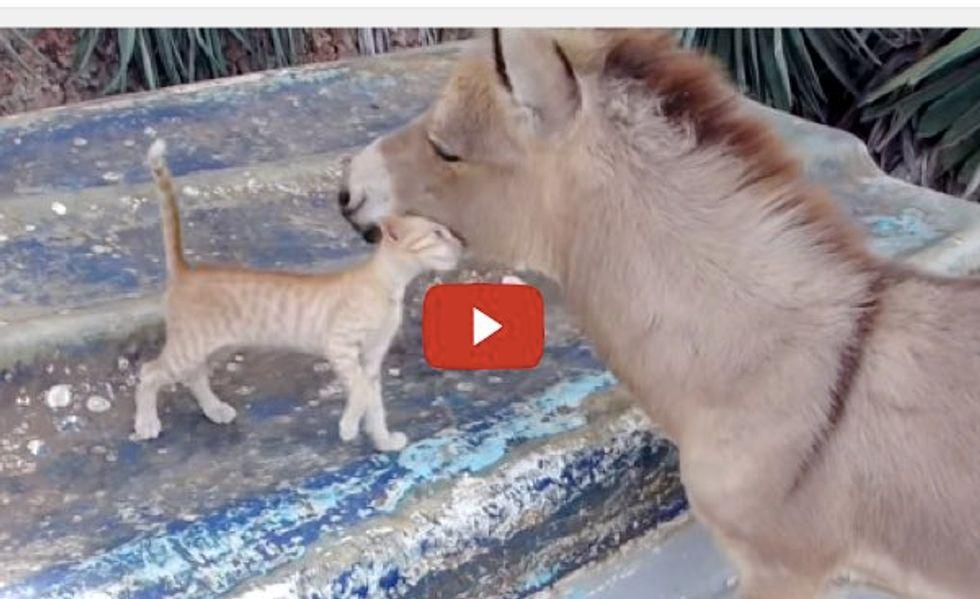 Kitten and Donkey, Unusual Friends