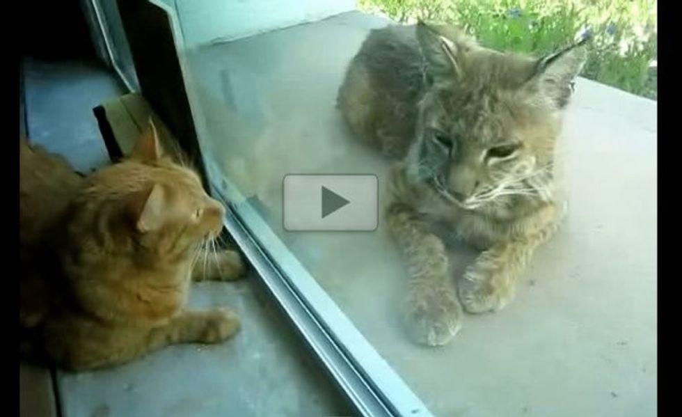 Walnut the Indoor Cat Meets a Bobcat