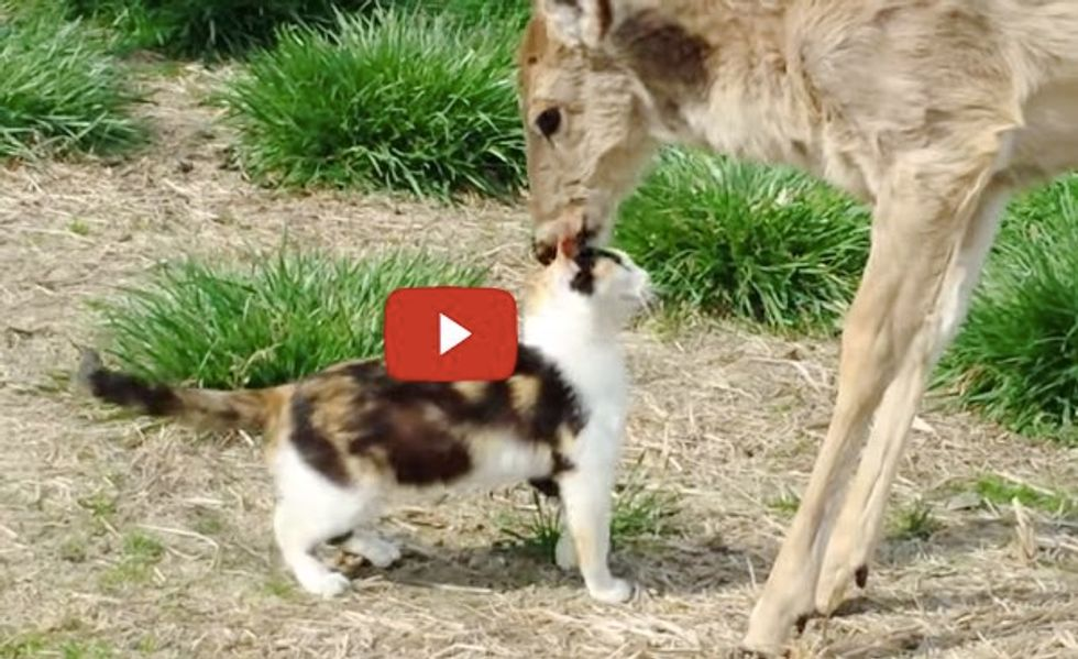 Cat and Whitetail Deer Who Grew Up Together Share a Special Moment