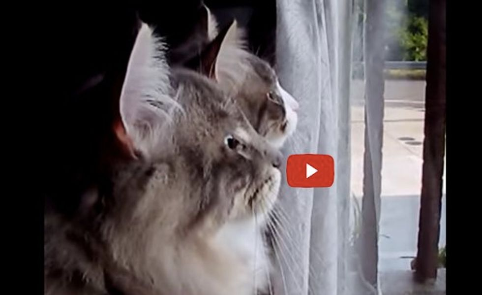 2 Kitties Chattering in Unison When They See the Birds