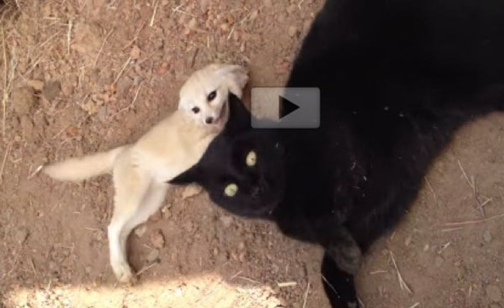 Fennec Fox Reunited with His Best Friend William the Cat