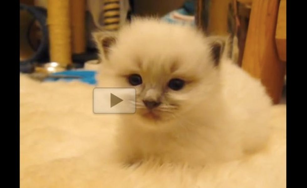 This Little Fluffy Kitty 'Disappears' When He Falls Asleep