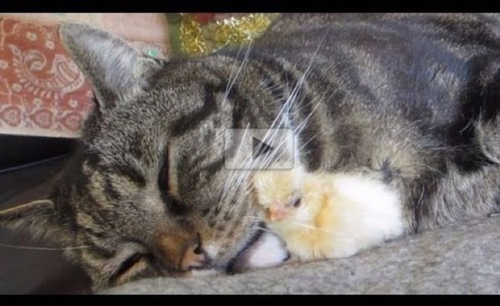 Tiny Chick Asking Cat for Snuggles. This is Just Adorable!