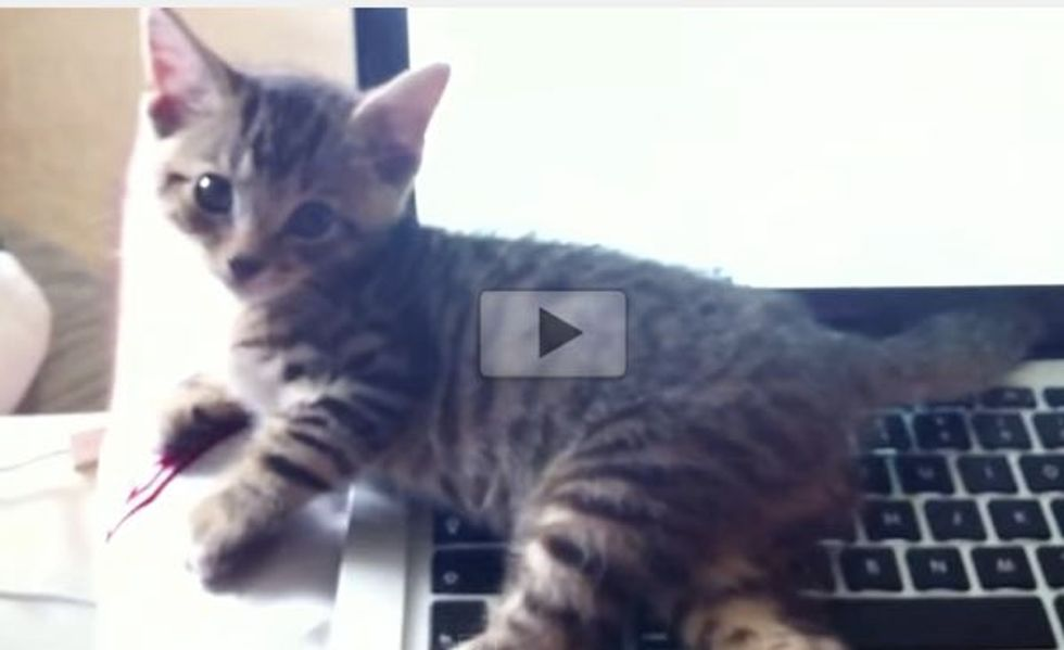 Kitty Does This Every Time His Human Uses the Laptop