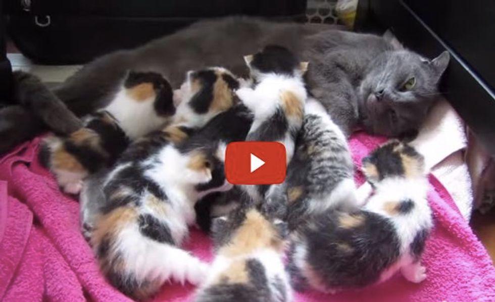 Rescue Cat Mama Nursing Her 8 Kittens: 7 Calico Girls, 1 Boy