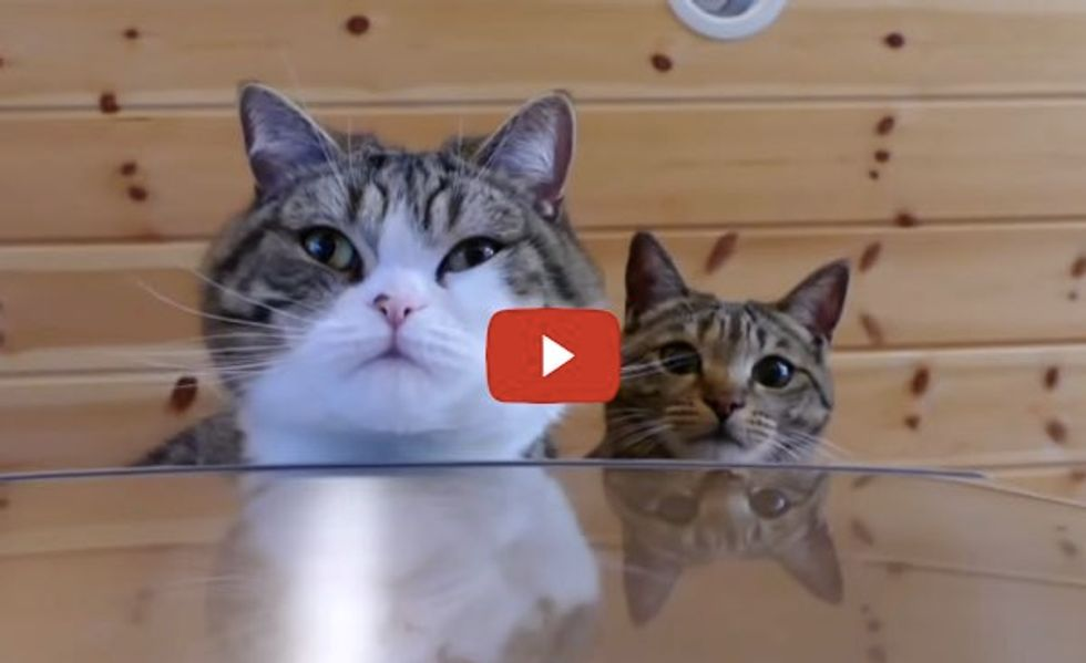 Fluffy Maru and Hana Get on Fridge with Gravity Defying Jumps