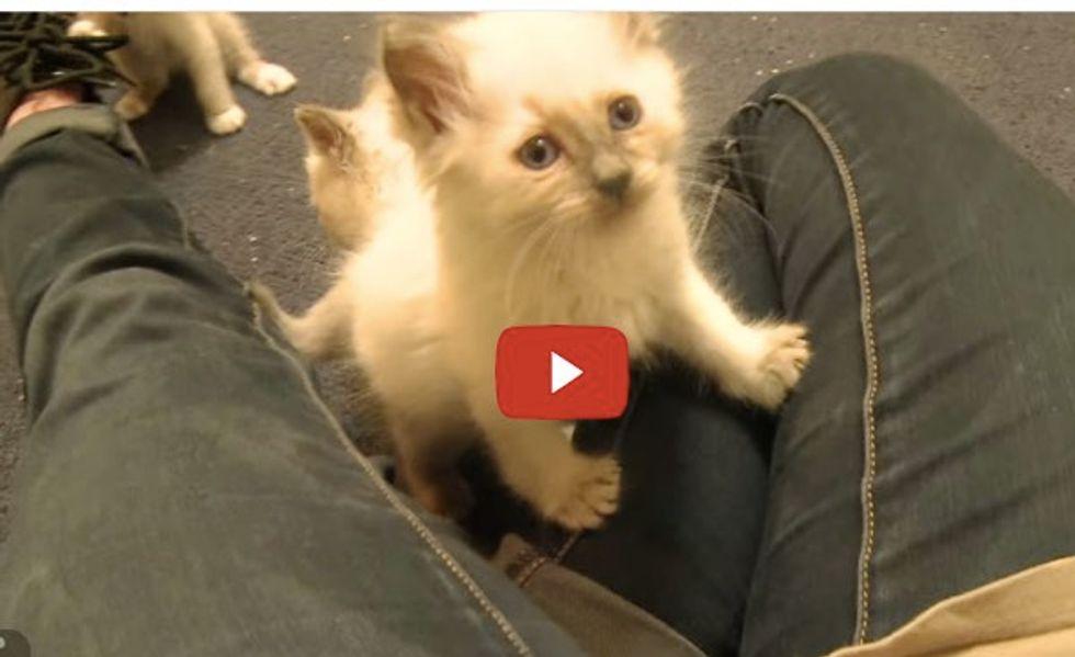 5 Siamese Kittens Take Human's Legs Hostage!