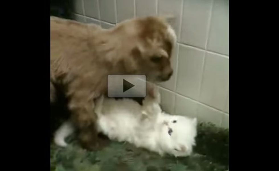 Fluffy Kitten Playing with a Newborn Goat