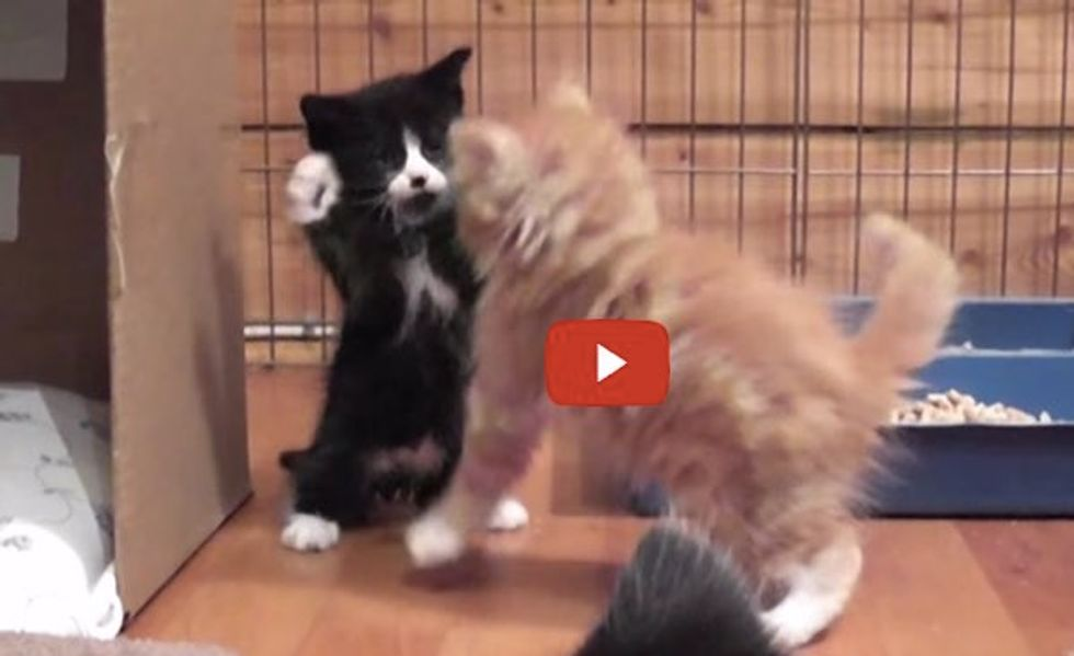 These Foster Kittens Take Play Fighting to the Next Level! It's A Load of Cute!