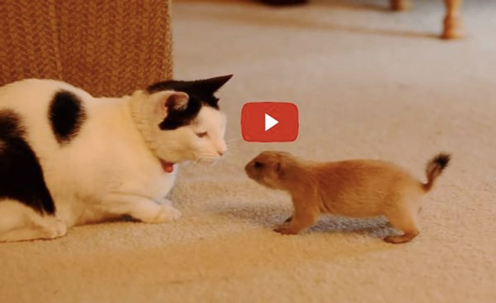 Kitty and a Baby Prairie Dog Become Good Friends. See These Two Buddies Play!