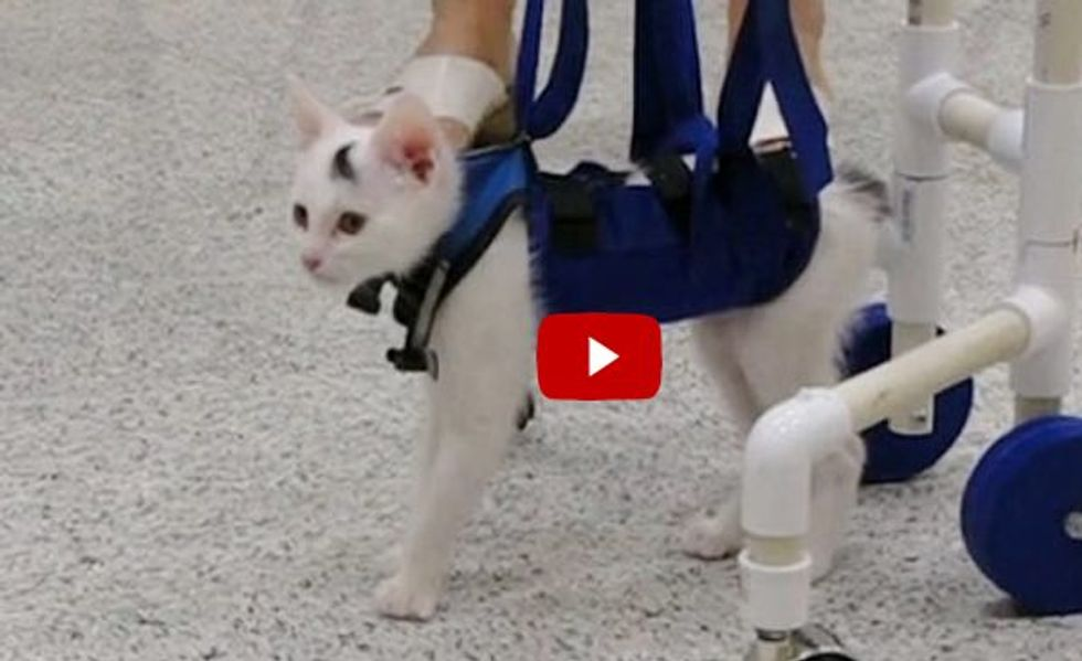 This Brave Kitty Couldn't Walk But Relearned to Use His Back Legs with a Walker!