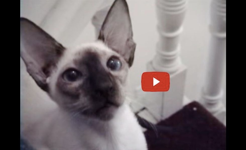 This Siamese Cat is Stomping Up Stairs with His Prize! It's Hilarious!