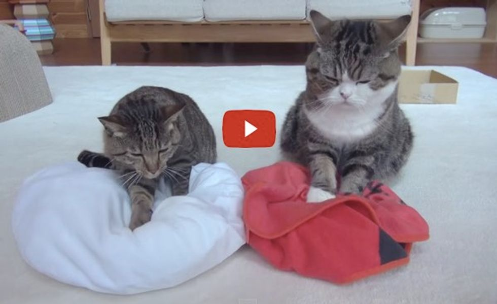 Maru and Hana Making Biscuits! Love Their Facial Expressions!