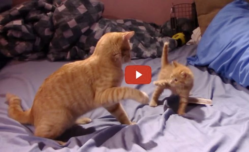Big Ginger Kitty Shows Tiny Ginger Kitten How to Play Like a Ginger