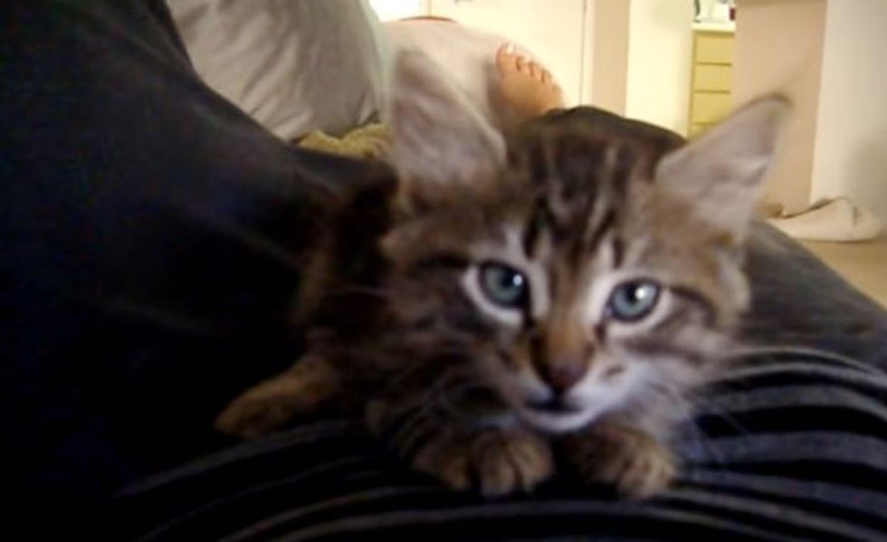 Bella the Maine Coon Kitten Squeaks for Love