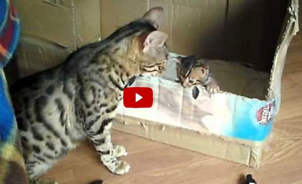 Cat Mama Encourages Her Kitten to Learn to Climb Out of the Box