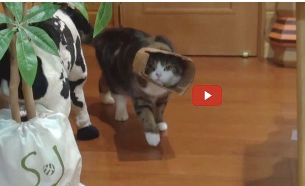 Maru the Box Cat Develops New Walking Style. Hana's Reaction is Priceless!