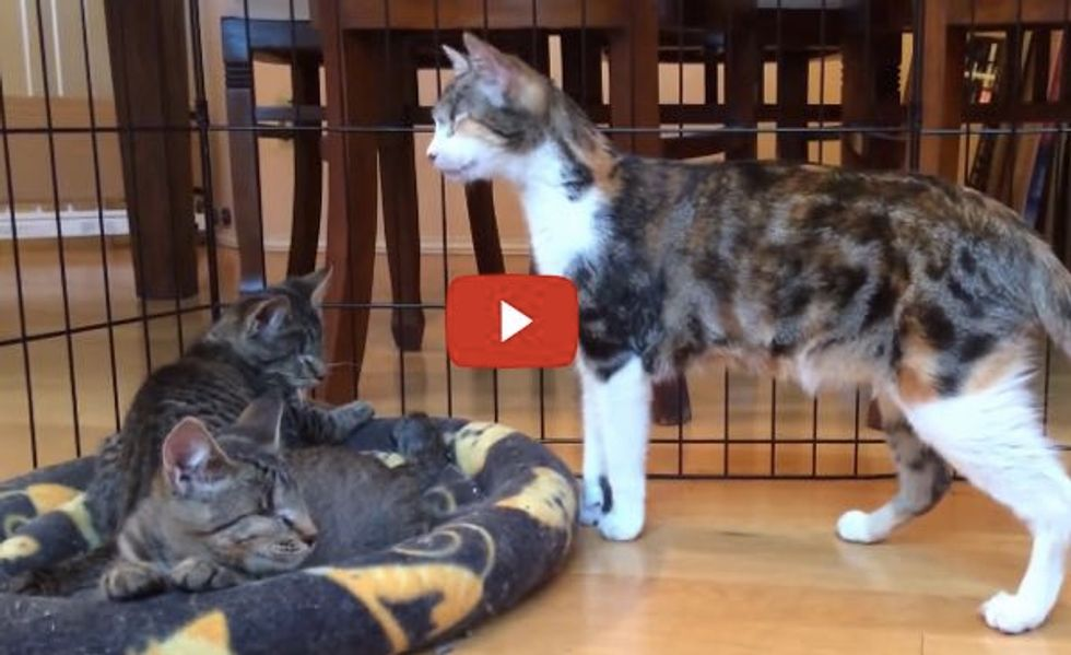 Honey Bee the Blind Cat Mentors 2 Blind Kittens How to Be a Blind Cat