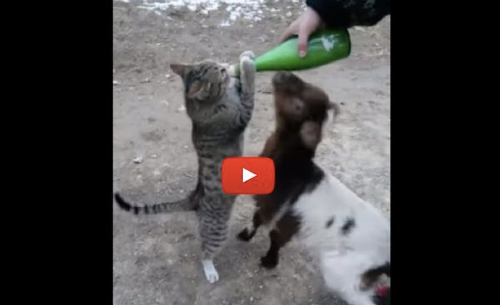 Farm Cat Wants Bottle Feeding with Goat