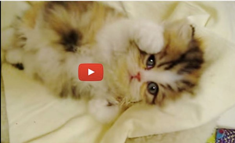 This Wiggly Little Fluffy Calico Makes Grooming Super Hard and Unbearably Cuteee!