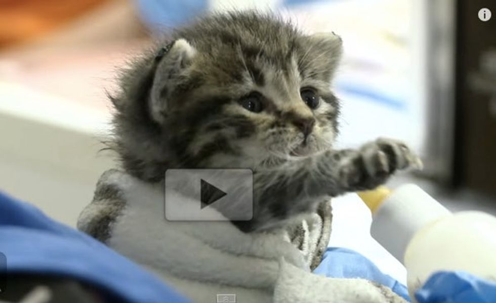 This Baby Kitten Trying to Learn to Use His Bottle. It just Tugs Your Heart Strings