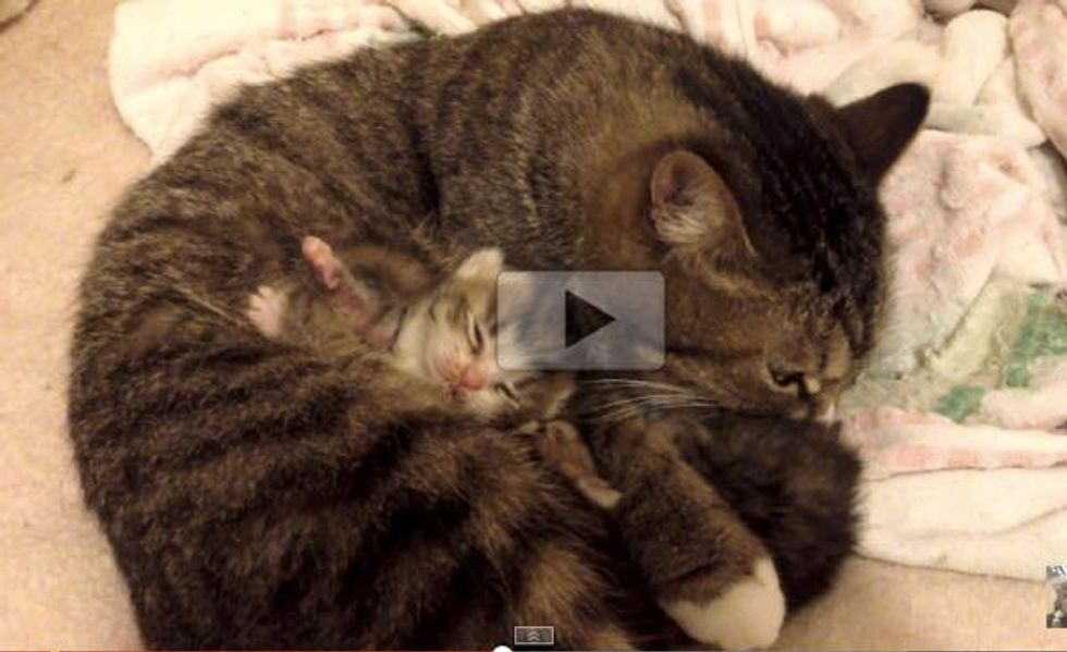 There's Something Furry Tucked in the Tabby's Belly! So Cuteeee!