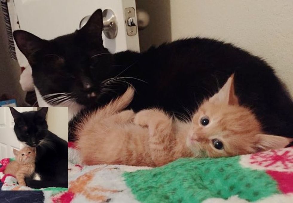 This Ginger Kitten Has a Mom But Found Another Mama at His Foster Home...