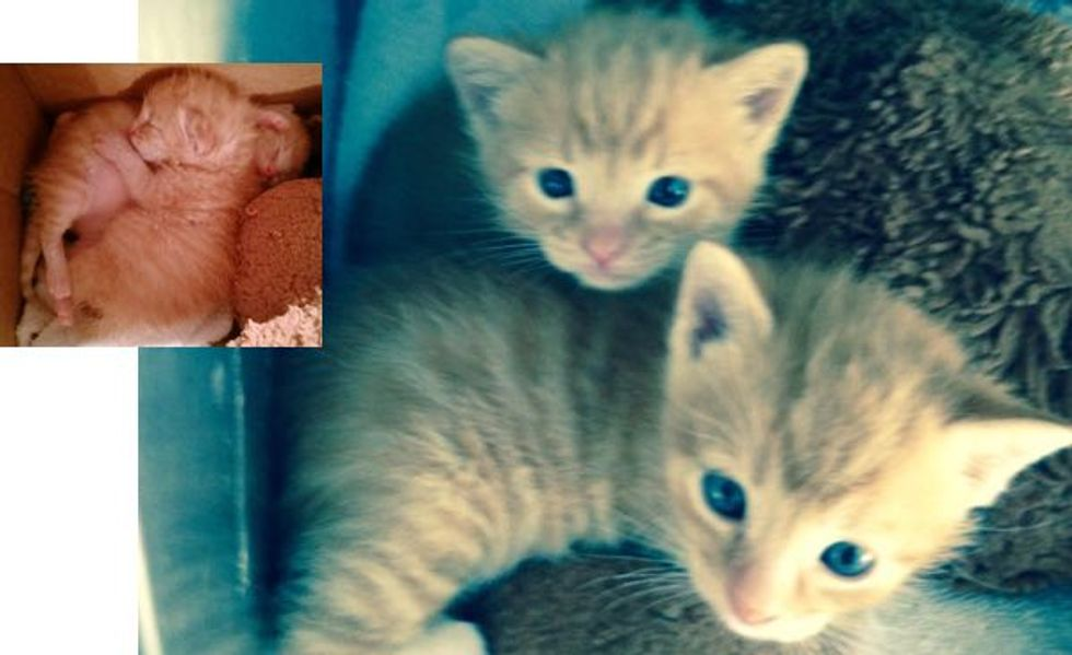 Wounded Cat Mom Hung on Long Enough to Ensure Her Babies Lived! Meet These Two Miracle Kittens!
