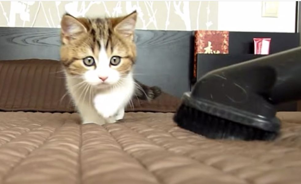Fearless Kittens Charge Up Against Vacuum When Mom Cleans the Bed