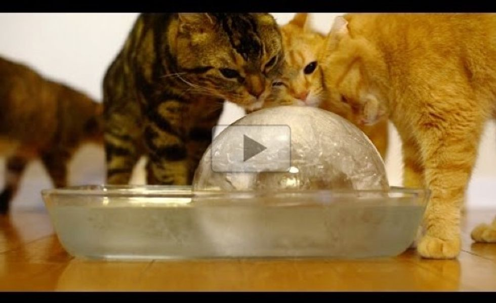 Nine Cats Enjoying a Giant Ice Ball!