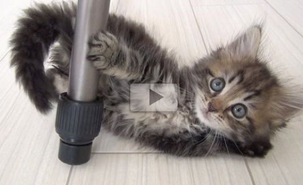 This Fluffy Kitty Makes Me Want to Adopt Another Cat! Just Adorable!